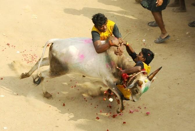 jallikattu, jallikattu protests, tamil nadu politics, bull taming, agriculture crisis in tn, tm cm ops, dmk, aiadmk
