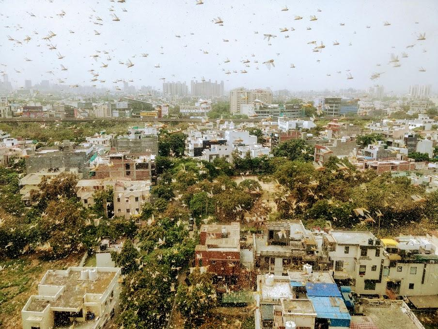 Swarms of locusts enter Gurgaon, netizens share frightening videos of