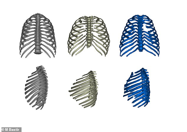 The ribcages of modern humans (left), Turkana Boy (middle) and Neanderthal (right), shown in frontal view (top row) and left side view (bottom row)Individual fossils of ribs and vertebrae of the Turkana Boy (KNM-WT 15000) that were used to reconstruct its rib cage using virtual computer techniques