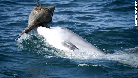 Dolphins are learning smart fish-catching trick from peers, not mothers