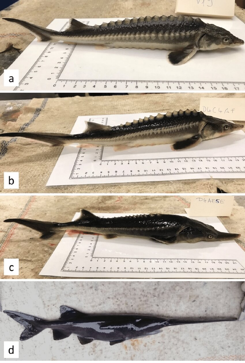 Researchers accidentally breed sturddlefish