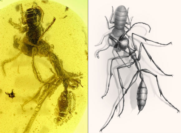 A worker of the hell ant Ceratomyrmex ellenbergeri grasping a nymph of Caputoraptor elegans preserved in amber from Myanmar. Image credit: New Jersey Institute of Technology / Chinese Academy of Sciences / University of Rennes.