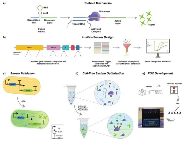 Synthetic riboregulators detect SARS-CoV-2 genome components in 40 minutes