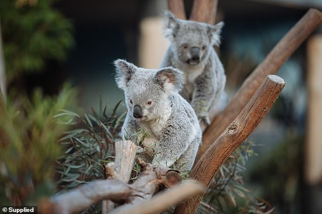 WIRES CEO Leanne Taylor said that koala numbers have seen a significant decline over the past five to ten years, so awareness has increased