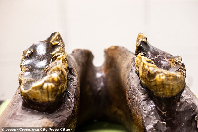 It is thought to belong to a young member of a prehistoric animal who may have reached a height of seven feet and lived in ancient Iowa about 34,000 years ago.