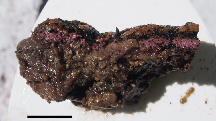A purple and brown microbial cluster that sits on a white background.