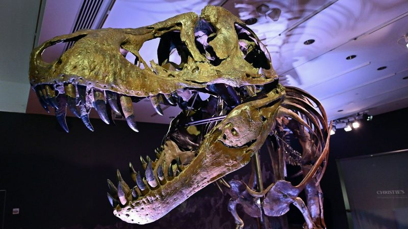 """A Tyrannosaurus rex (T-Rex) skeleton, named STAN is on display during a press preview at Christie's Rockefeller Center on September 15, 2020 in New York City. - The skeleton of a 40-foot (12-meter) dinosaur nicknamed """"Stan"""", one of the most complete Tyrannosaurus rex specimens ever found, will be auctioned in New York next month and could set a record for a sale of its kind. Discovered in 1987 near Buffalo, South Dakota, the 188-bone skeleton took more than three years to excavate and reconstruc"""
