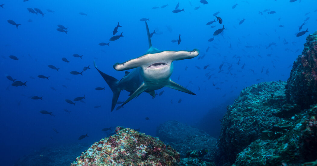 The pros and cons of being a hammerhead shark