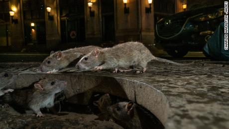 With restaurants closed, the CDC says, the rats have become aggressive