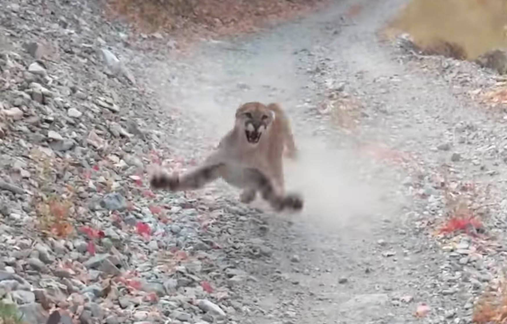 Watch a mountain lion chase a man for a terrifying 6 minutes – BGR