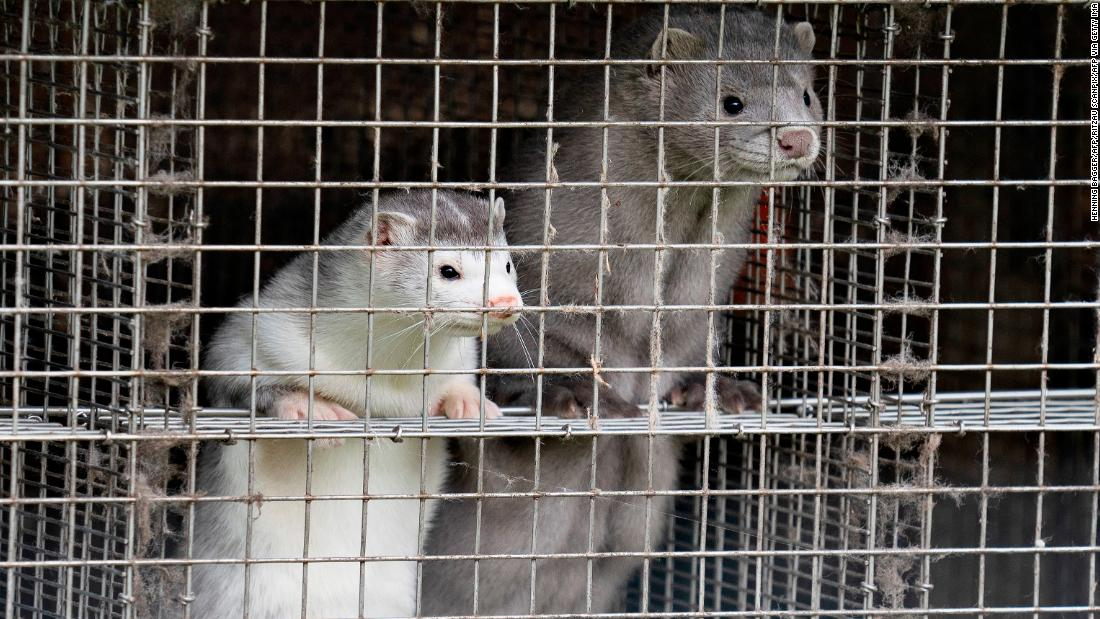 The Danish mink Covid crisis worsens.  This is what it means