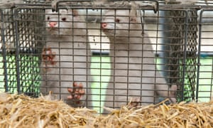 Mink in farm ownership of Stig Sørensen where all mink animals must be culled by government order on November 7, 2020 in Boarding, Denmark.