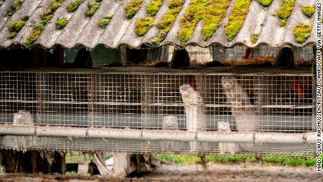 A mink is seen on a farm in Gjol, northern Denmark, on October 9, 2020.