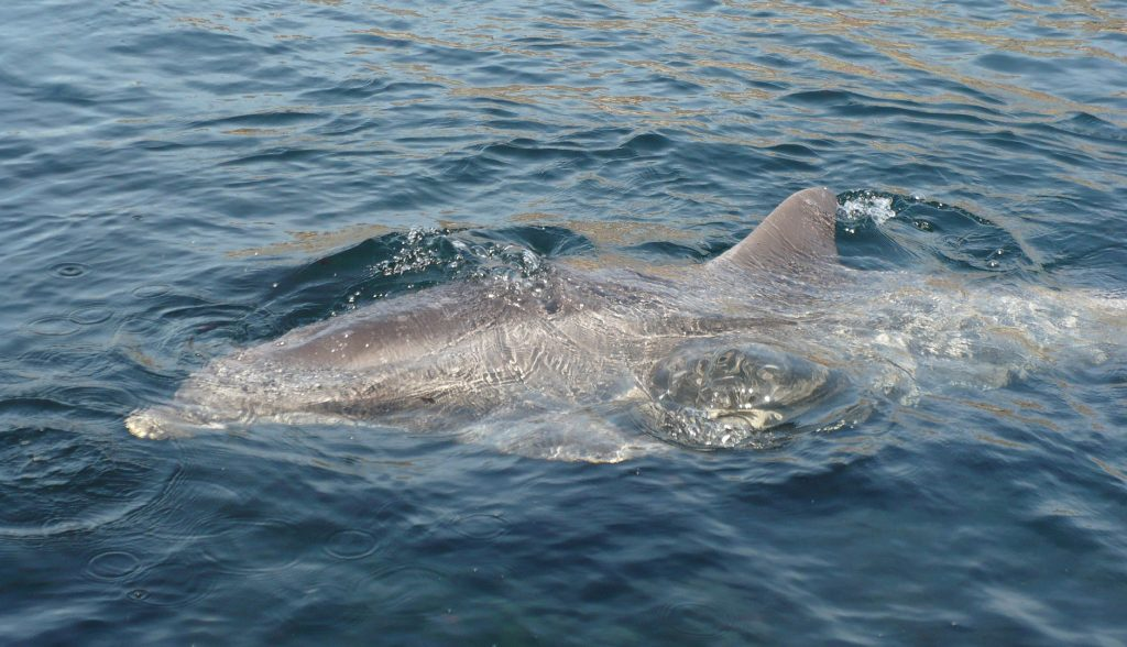 A fatal skin disease in dolphins due to the climate crisis