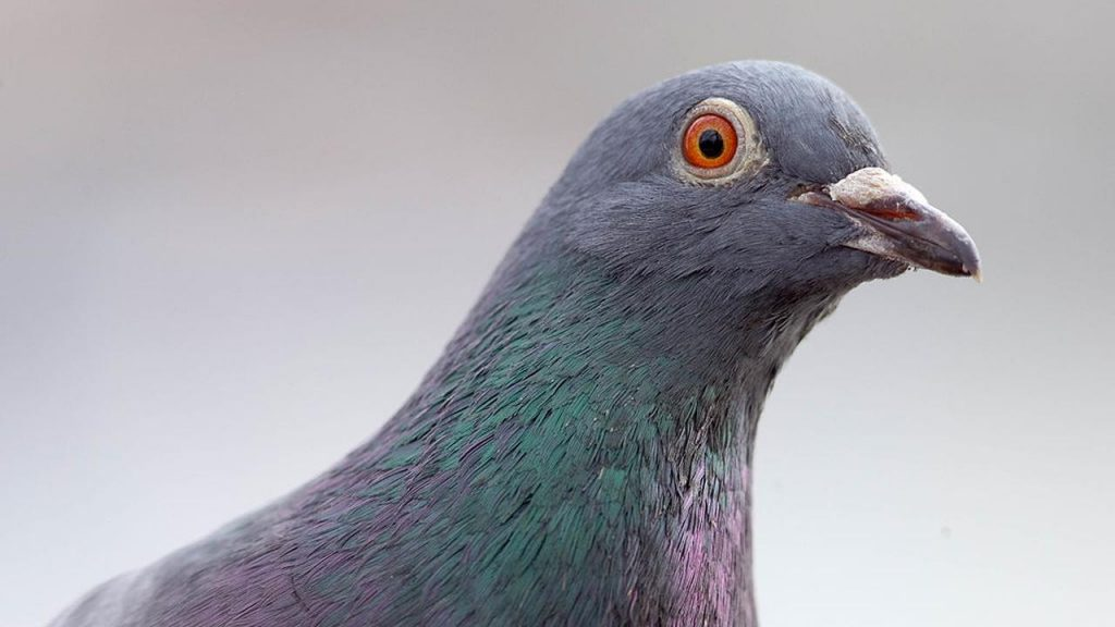 The pigeon of the breed survives its flight from the United States to Australia, but the authorities are not happy |  right Now