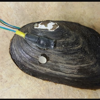 Mussels detect contamination by a sensor on their shells