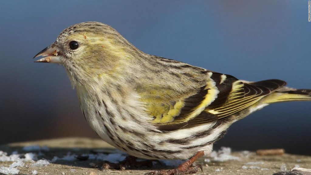 The CDC says salmonella infection may be related to wild songbirds in 8 states