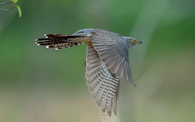 The cuckoo returns to the UK after a tour of the Moroccan Sahara