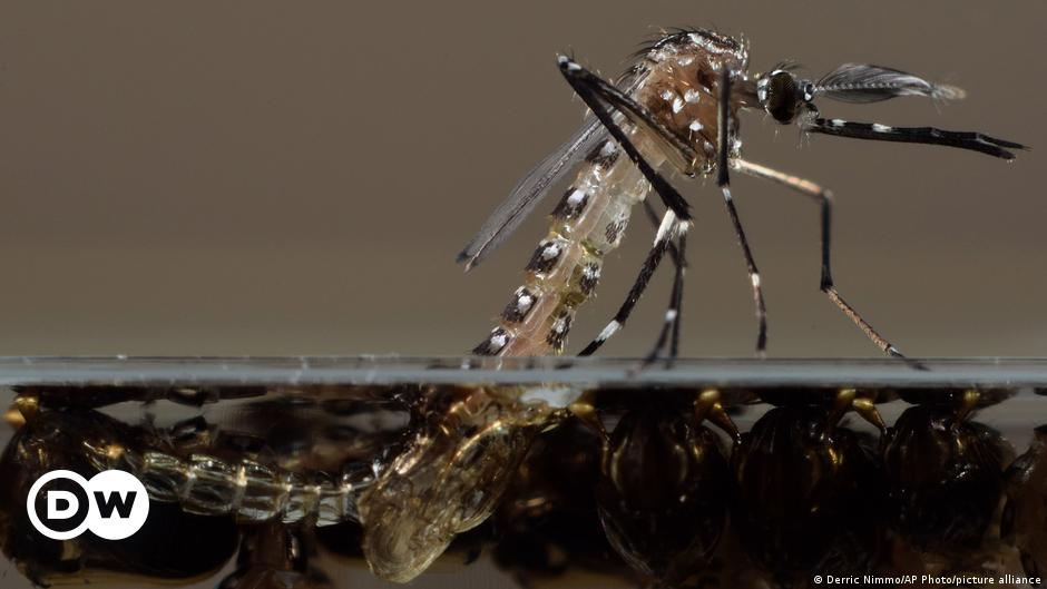 The Bill Gates Corporation, Backed by Bill Gates, Releases Thousands of Genetically Modified Mosquitoes |  Science and Ecology |  DW