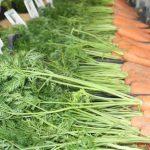 Bejo Can Test Crispr-Cas in Vegetables