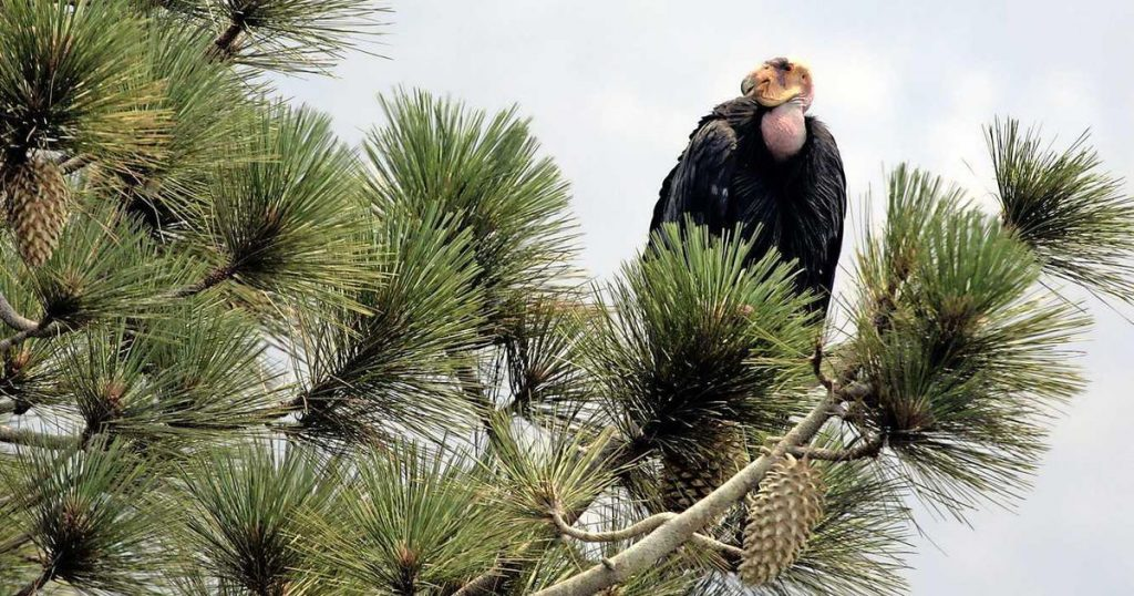Condors destroy family home in California    abroad