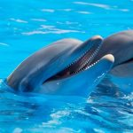 Controversial and Unique: The Dolfinarium is considering selling dolphins to China