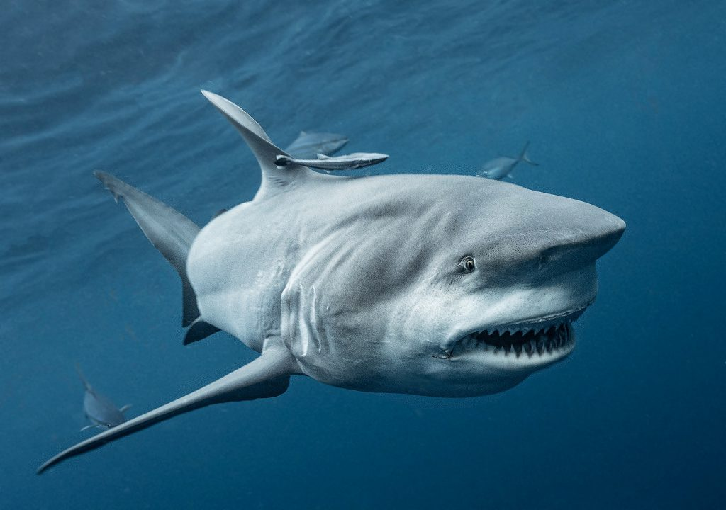 Sharks use the Earth's magnetic field as GPS - Wel.nl