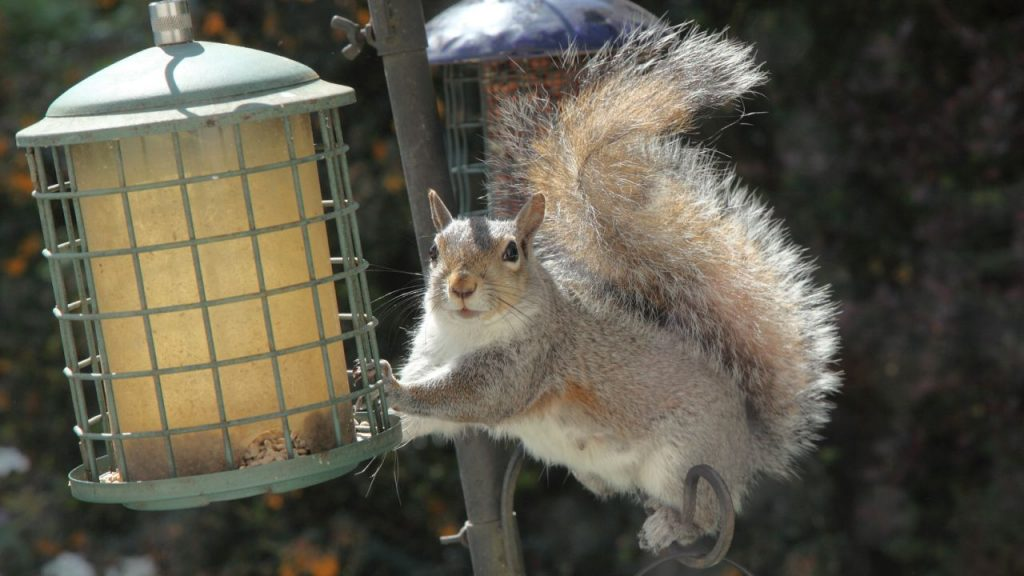 Woman stops squirrel thief using petroleum jelly to feed birds: 'They're too greedy'
