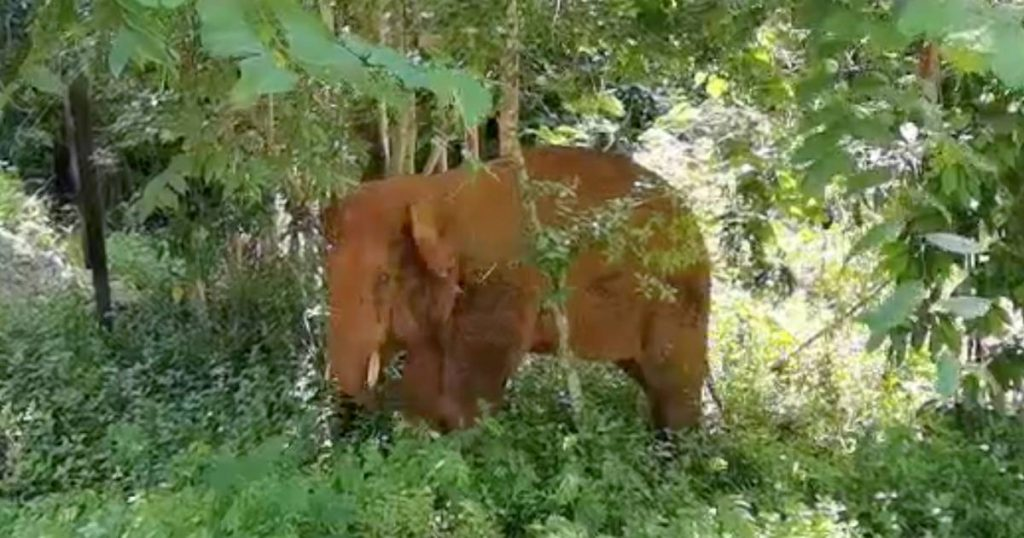 Elephant herd in China is on the run: Lonely bull captured and returned to the reserve abroad