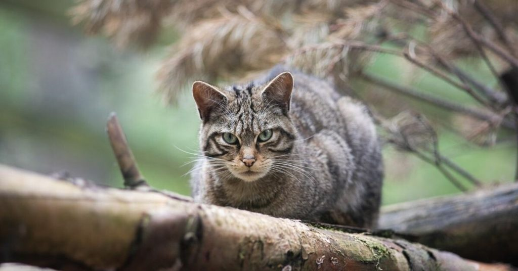 The soaring tiger, a symbol of the Scottish Highlands, is in danger of getting lost.  But there is still hope for wild cats