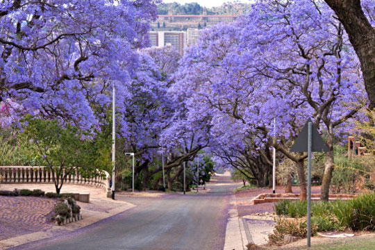 Jakranda - South Africa