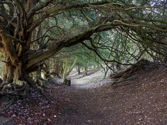 yew-tree-england