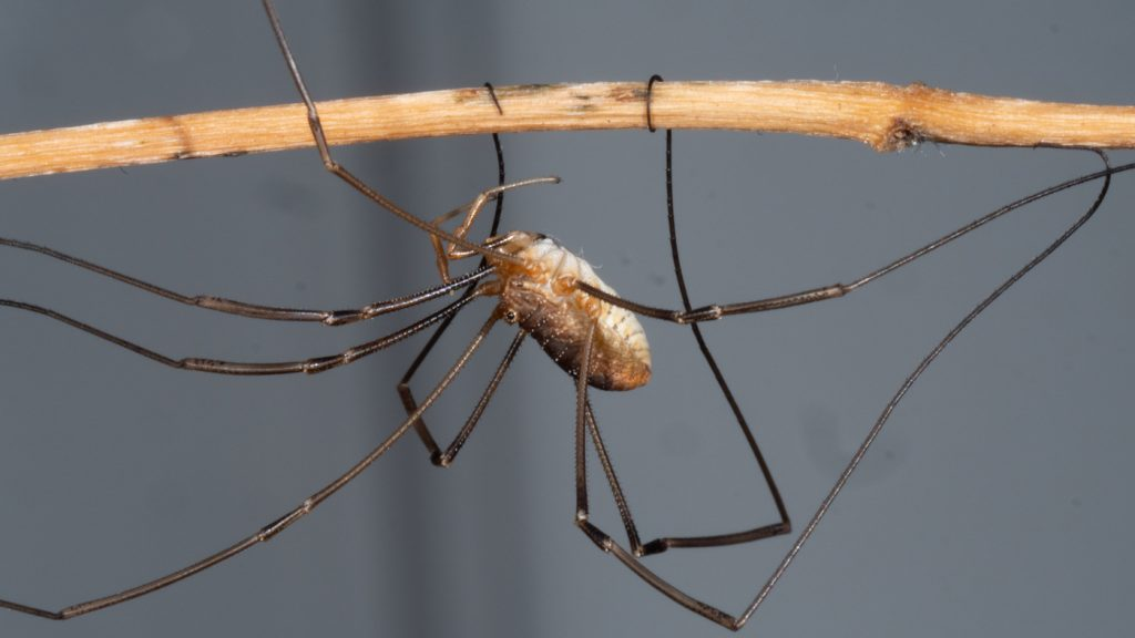 The genome of Daddy Longlegs has been sequenced and researchers have created Daddy Shortlegs: NPR.  made