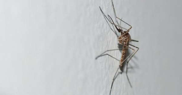 A new strange mosquito has appeared in Belgium
