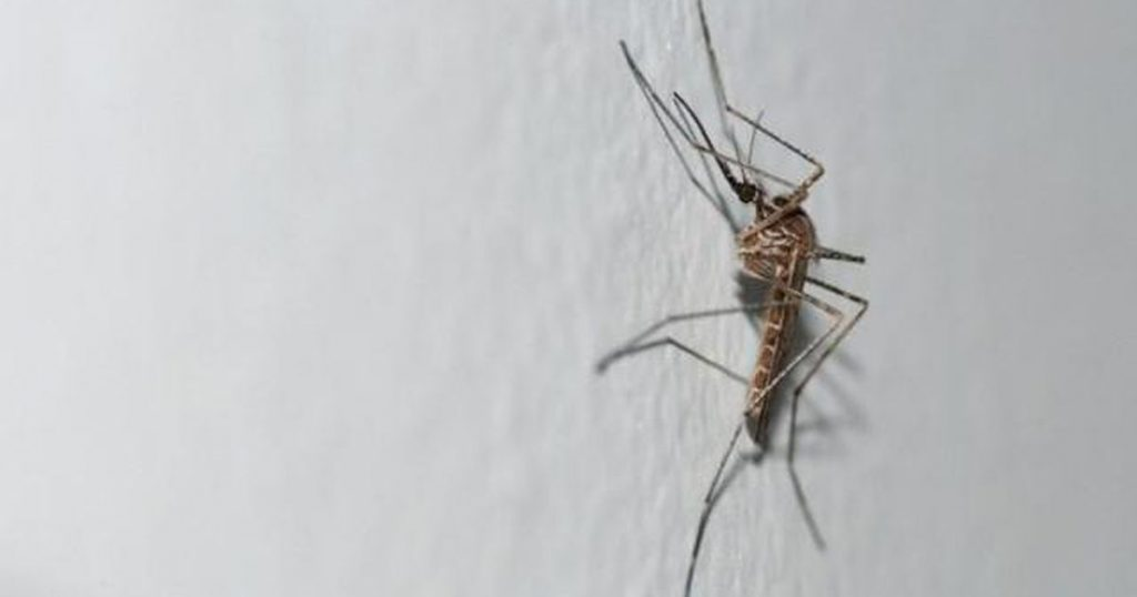 New strange mosquitoes appeared in Belgium |  abroad