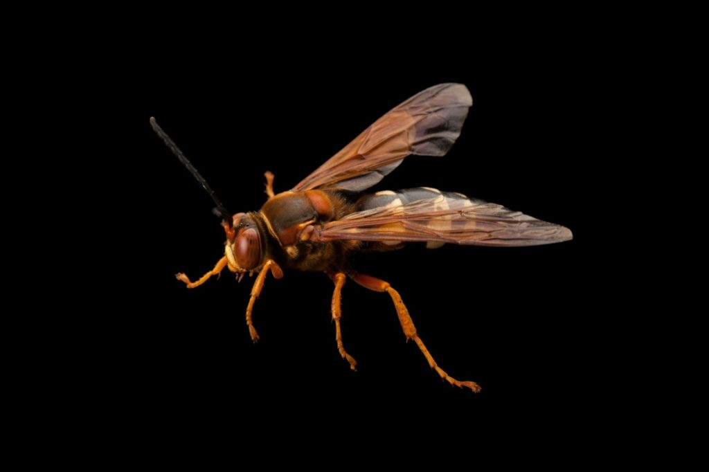 The Cicada Killer Wasp is back.  But do not confuse this insect with a giant killer hornet.
