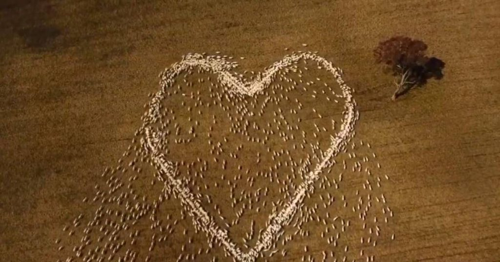Touch: Australian sheep farmer lets sheep form a heart to honor a deceased aunt |  The best thing on the web