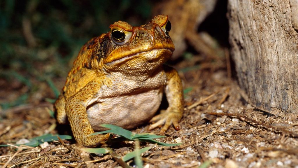 Cannibal frogs eat a lot of their young, they accelerate evolution