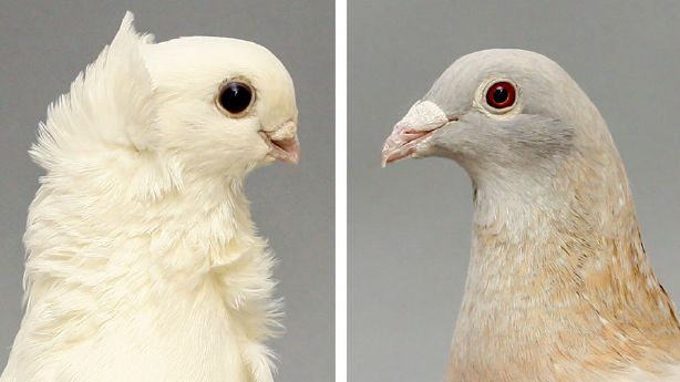 Researchers from the United States say they have discovered the mystery of Darwin's pigeon