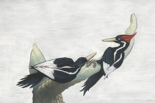 The great ivory-billed woodpecker and 22 other species declared extinct in the United States - Nature - Travel
