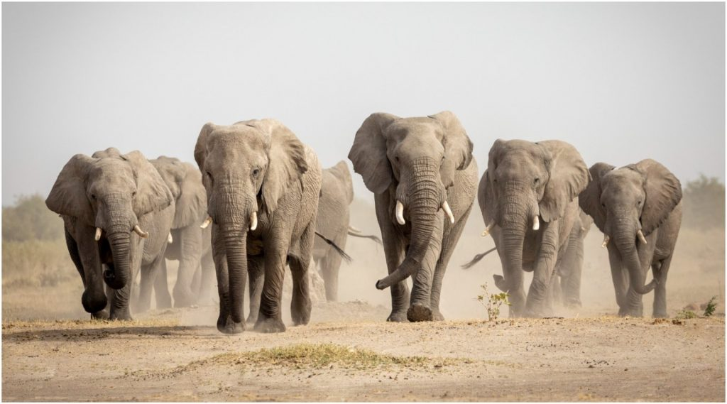 Scientists want to release elephants into Europe to save our ecosystem: is that a good idea?