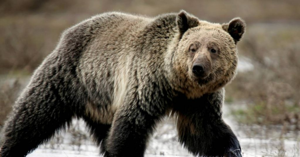 The American came too close to bear it, and was almost attacked and imprisoned |  Abroad